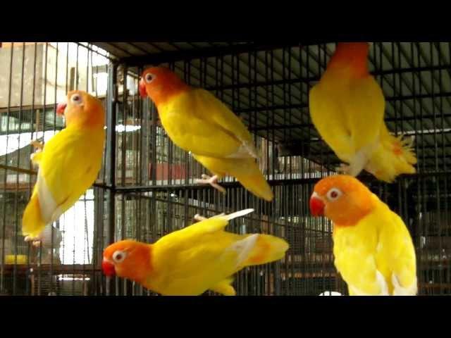 LUTINO PERSONATA LOVE BIRDS OF SYED OVAIS BILGRAMI