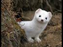 Посмотри! Что Творят! Кот и Горностай.