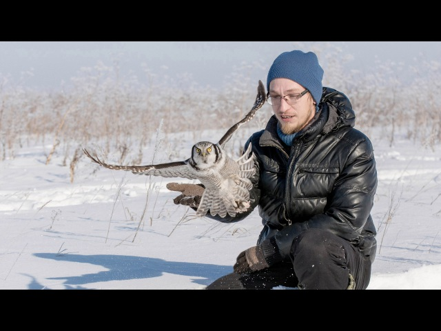 Ястребиная сова ест с рук hand feeding wild northern hawk owl