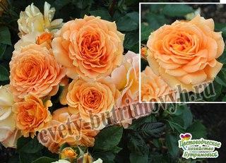 Светлана бутримова розы
