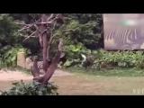 Плотоядная зебра (Китай)