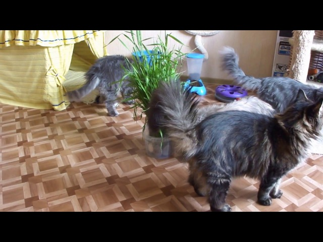 Day of life with my maine-coon cats