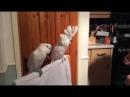 Попугаи танцевали под гитару и музыку Элвиса Пресли )