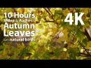 4K UHD 10 hours - Autumn / Fall Leaves with birdsong audio - relaxing, meditation, nature