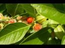 Ашваганда Ashwagandha №2 03 Цветение Плодоношение