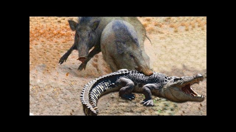 Amazing Parents Wild Boar Save Babies From Crocodile Hunting Animal Hunting Fail