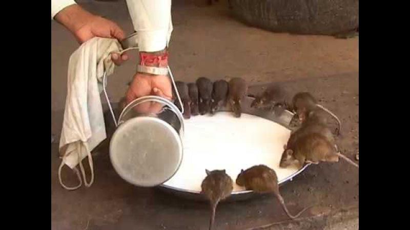 Крысы бессмертия Карни Мата