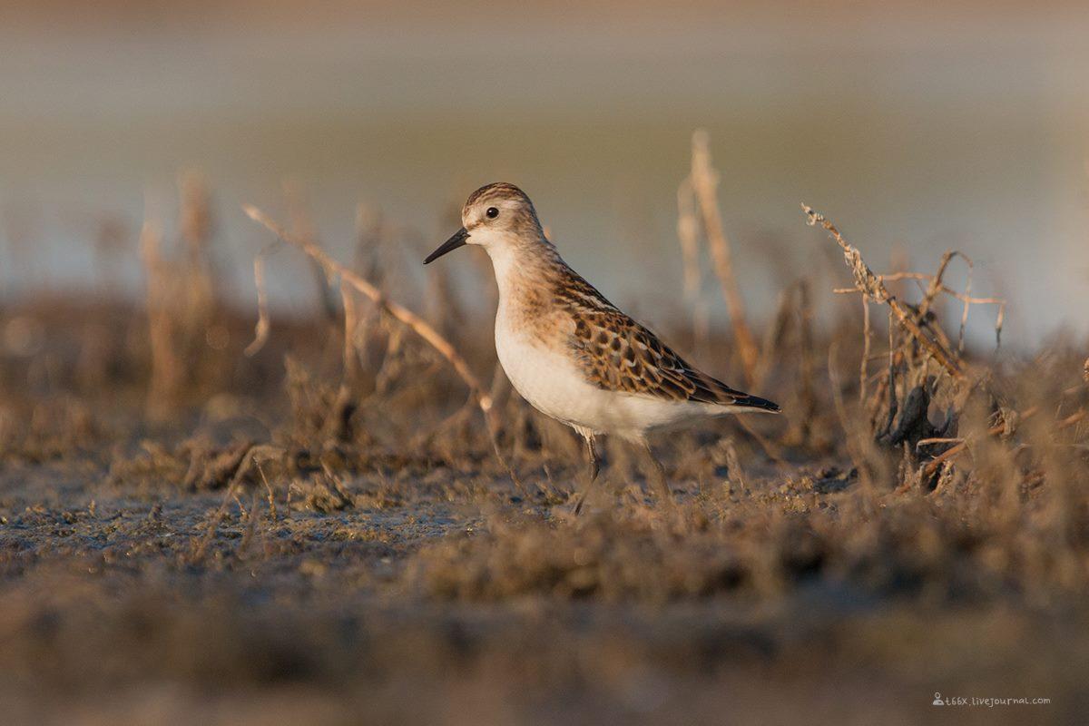 Птицы челябинской области, Озеро, Катай озеро, кулик-воробей