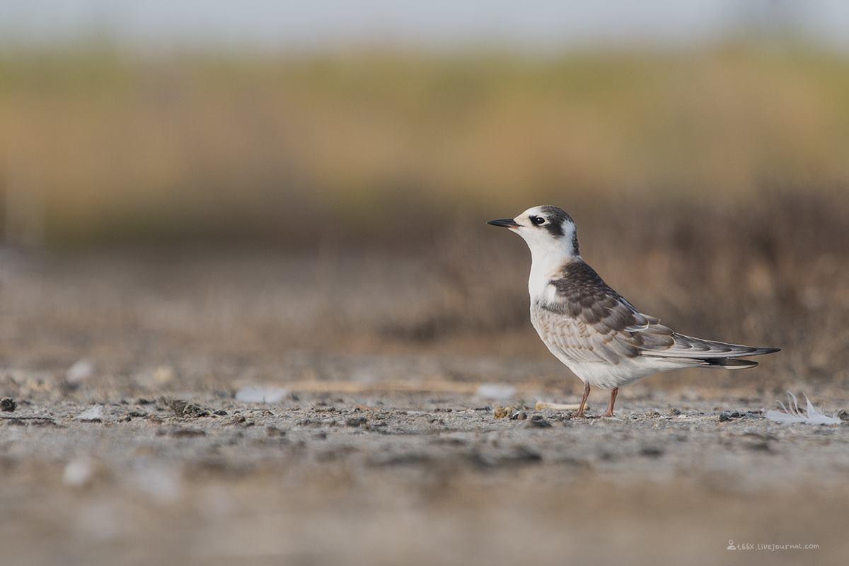 Птицы челябинской области, Озеро, Катай