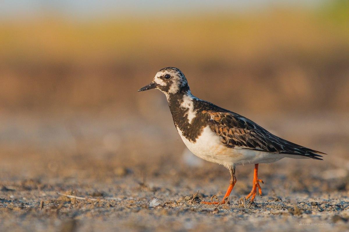 Птицы челябинской области, Озеро, Катай озеро, камнешарка