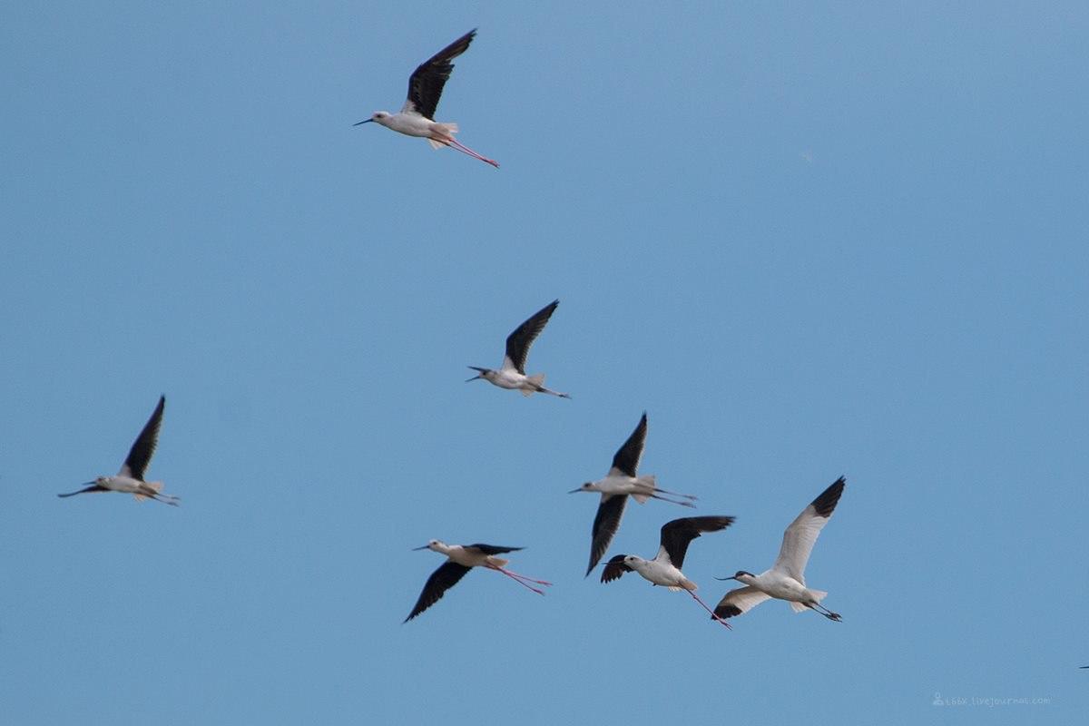 Птицы челябинской области, Озеро, Катай, шилоклювка, ходулочники, полет