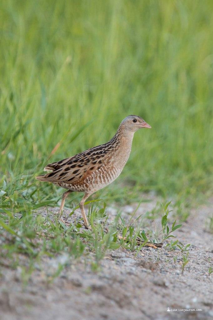 Птицы челябинской области, коростель, фотоохота