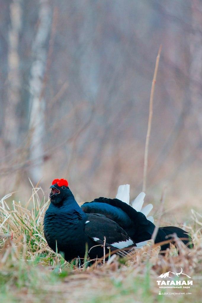 Птицы челябинской области, фотоохота, тетерев
