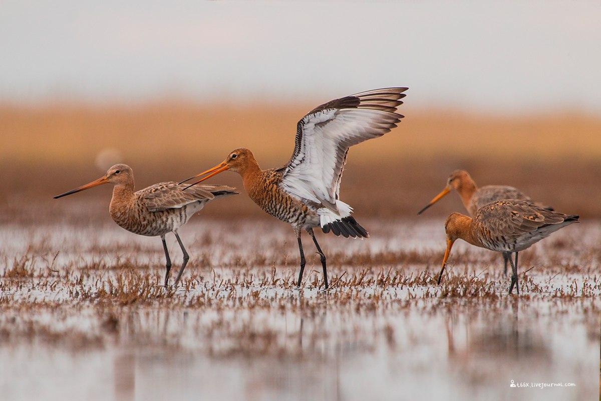 Птицы челябинской области, фотоохота, большие веретенники