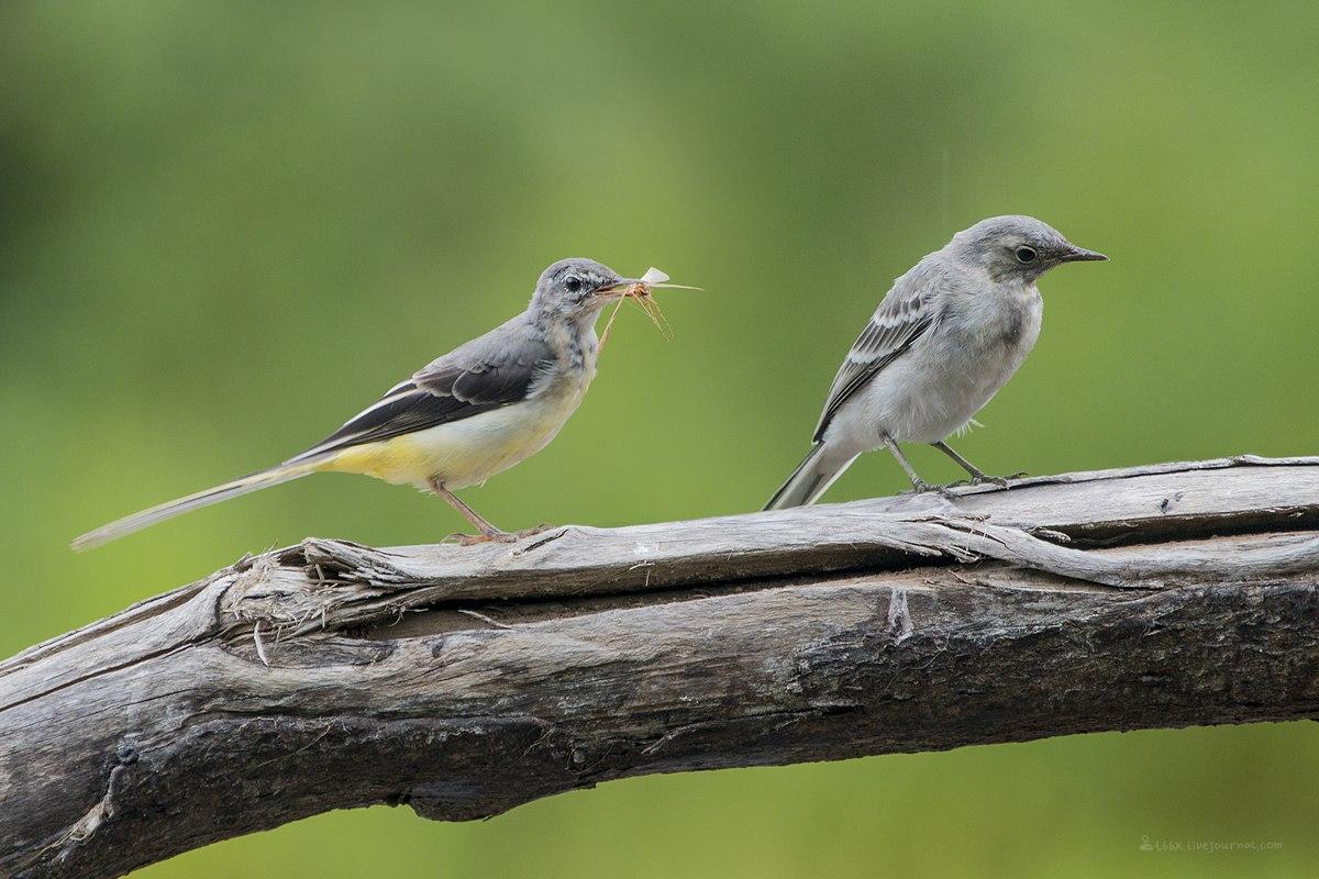 Птицы челябинской области, горная и белая трясогузки