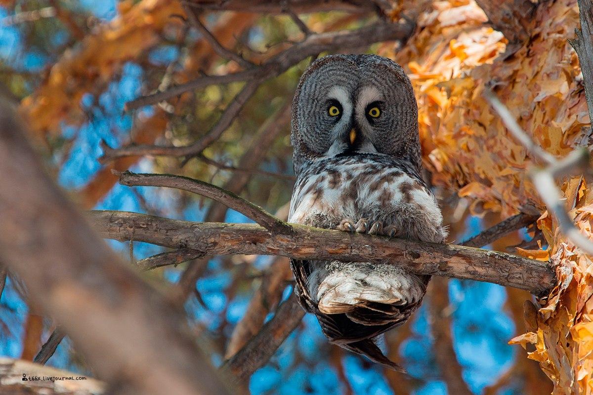 Птицы челябинской области, бородатая неясыть, birding Russia