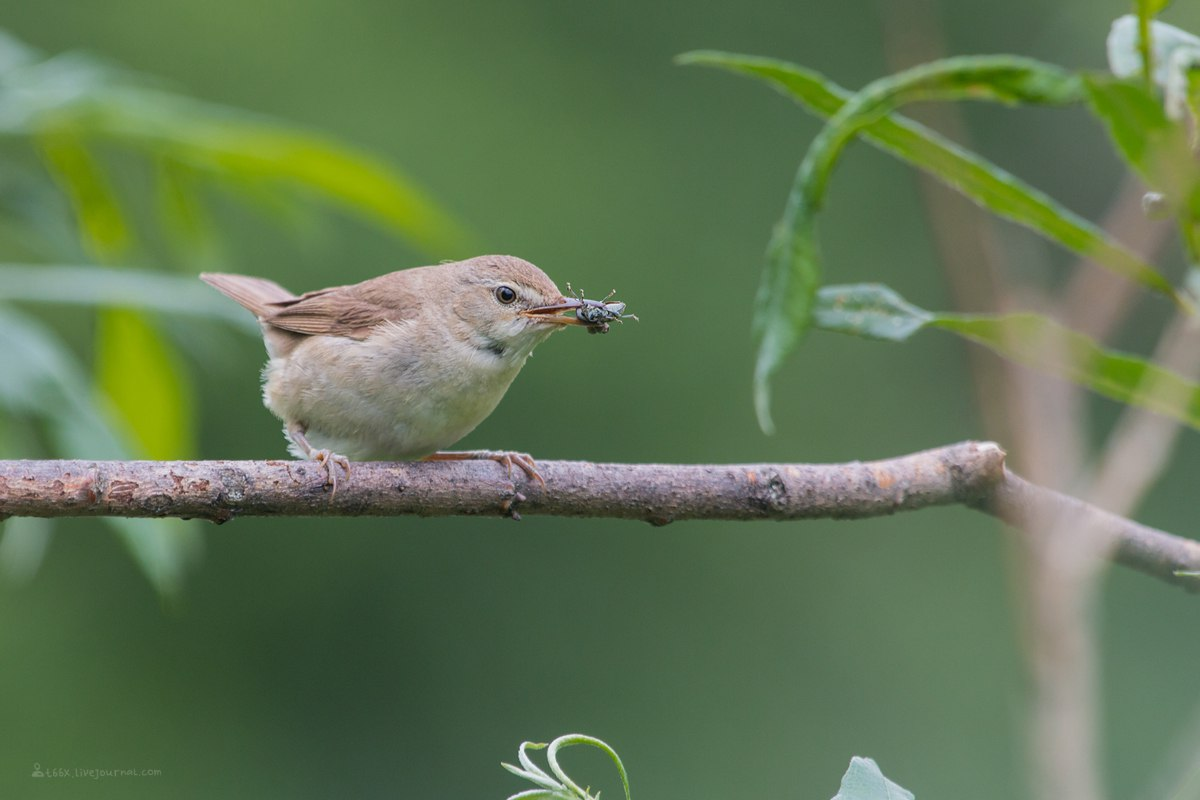 Птицы челябинской области, бормотушка, фотоохота