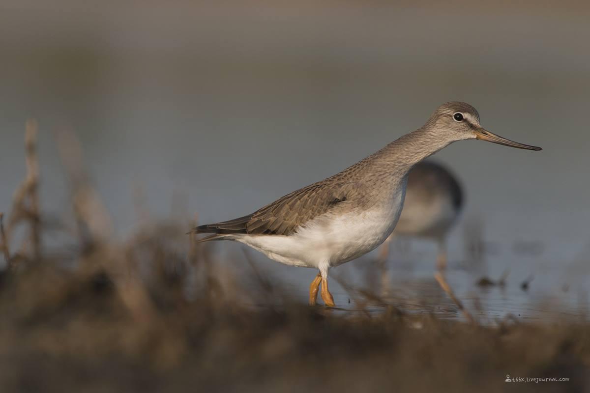 Птицы челябинской области, Озеро, Катай озеро, мородунка