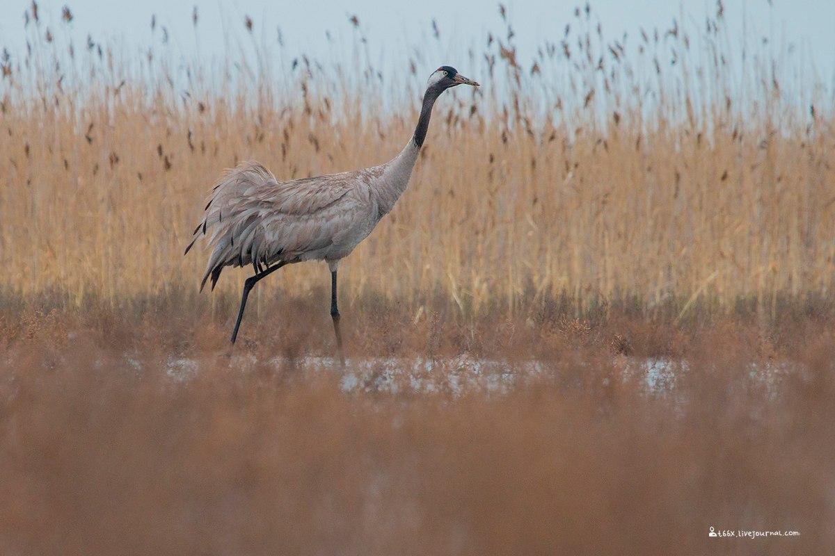 Птицы челябинской области, фотоохота, серый журавль