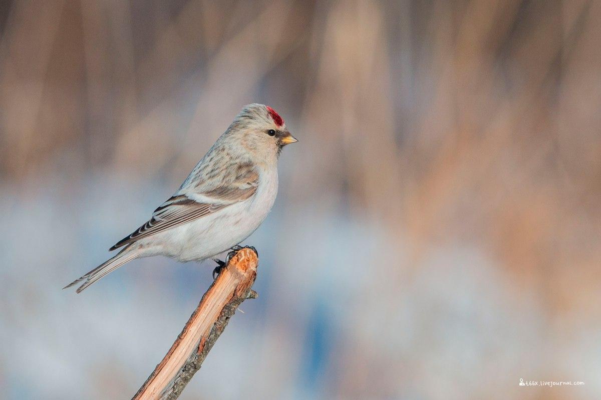 Птицы челябинской области, пепельная чечетка