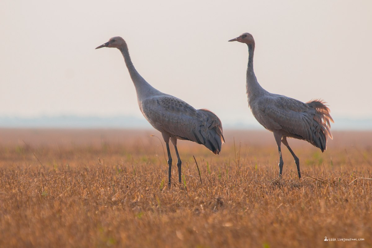 Птицы челябинской области, Серый журавль, birding Russia