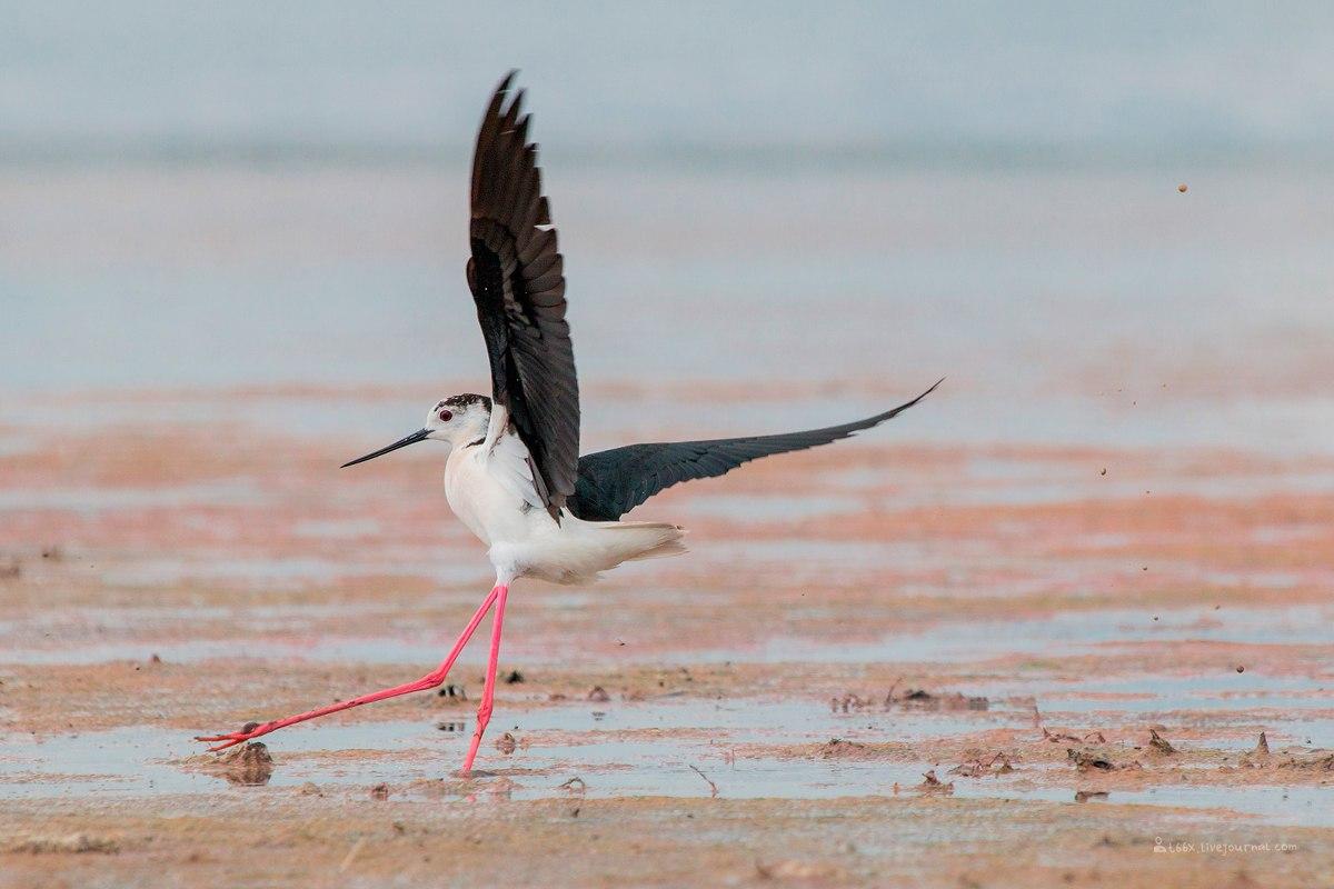 Птицы челябинской области, ходулочник, Катай, фотоохота