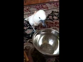 первый в мире попугай-еврей