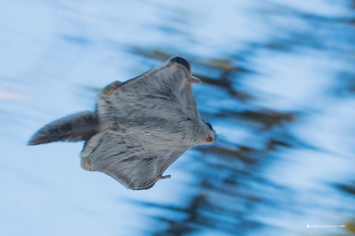 Иремель, белка летяга
