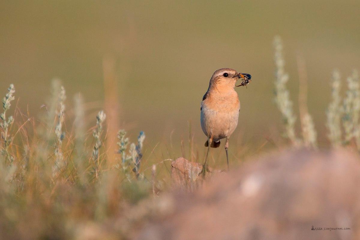 Птицы челябинской области, каменка, фотоохота