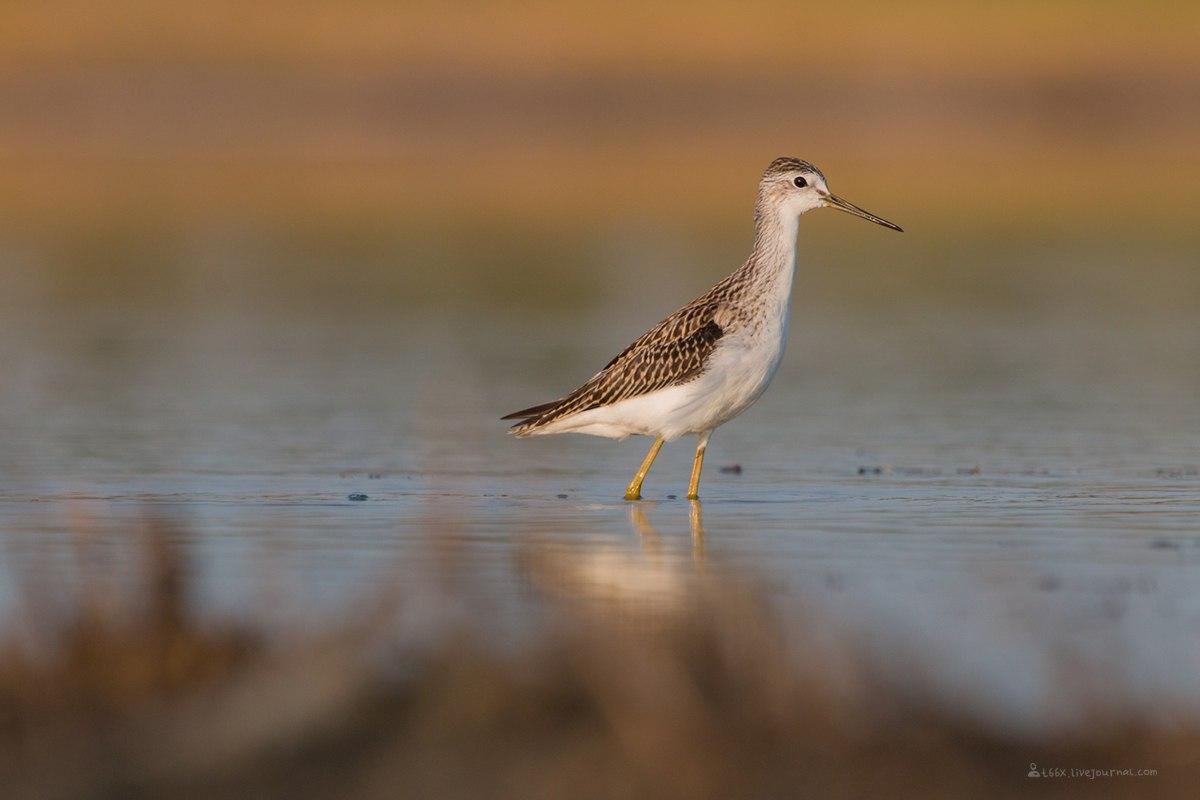 Птицы челябинской области,Озеро, Катай озеро, Поручейник