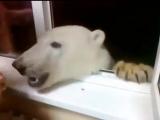 Ничего необычного, просто полярный медведь в очередной раз зашёл за печеньками 😊