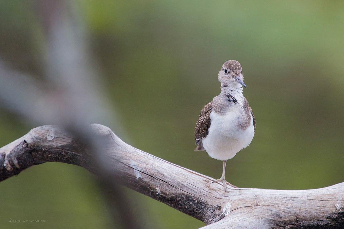 Птицы челябинской области, перевозчик, птица, фотоохота