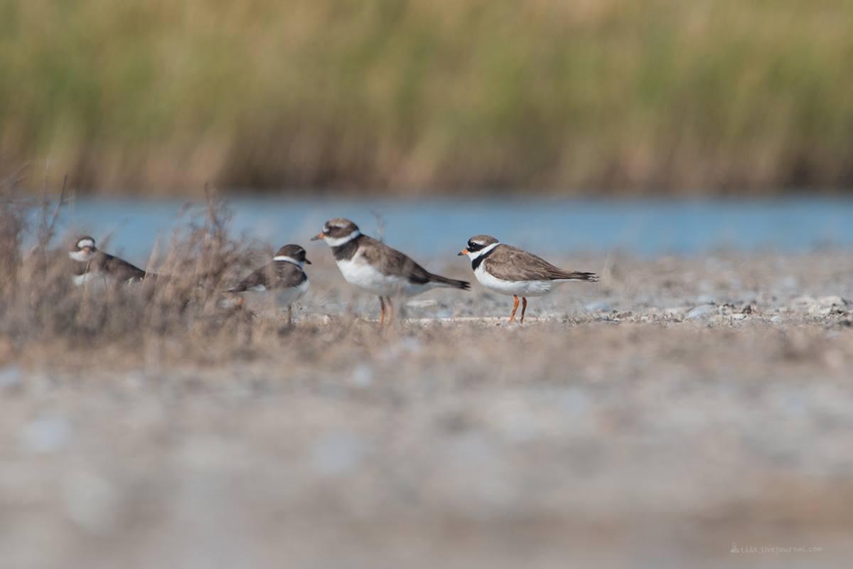 Птицы челябинской области, Озеро, Катай озеро, галстучник