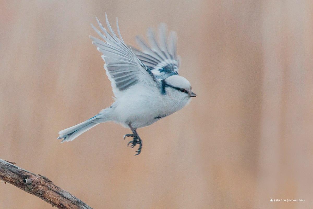 Птицы челябинской области, Плеске, гибрид