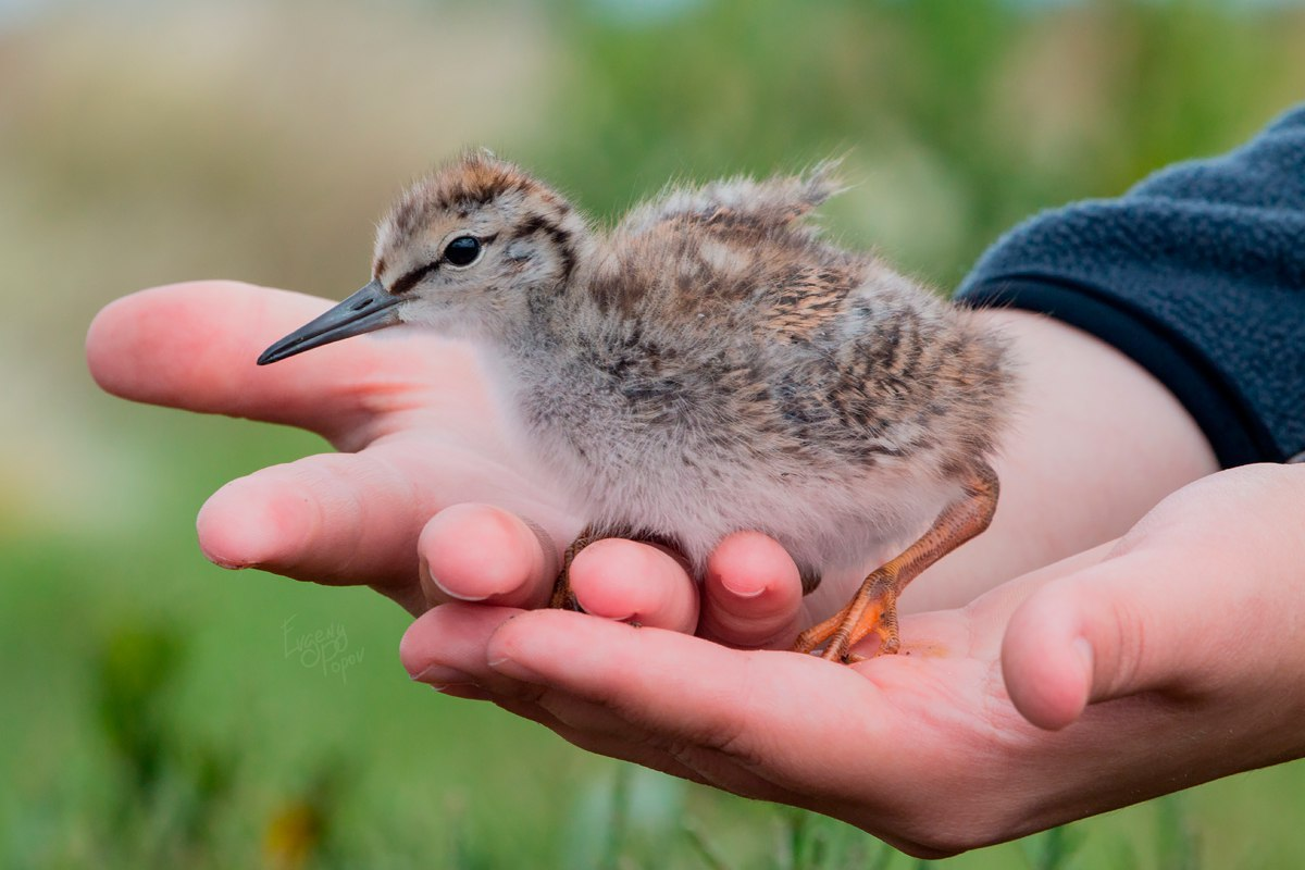 Птицы челябинской области, Ходулочник, птенец ходулочника, озеро Катай, birding Russia