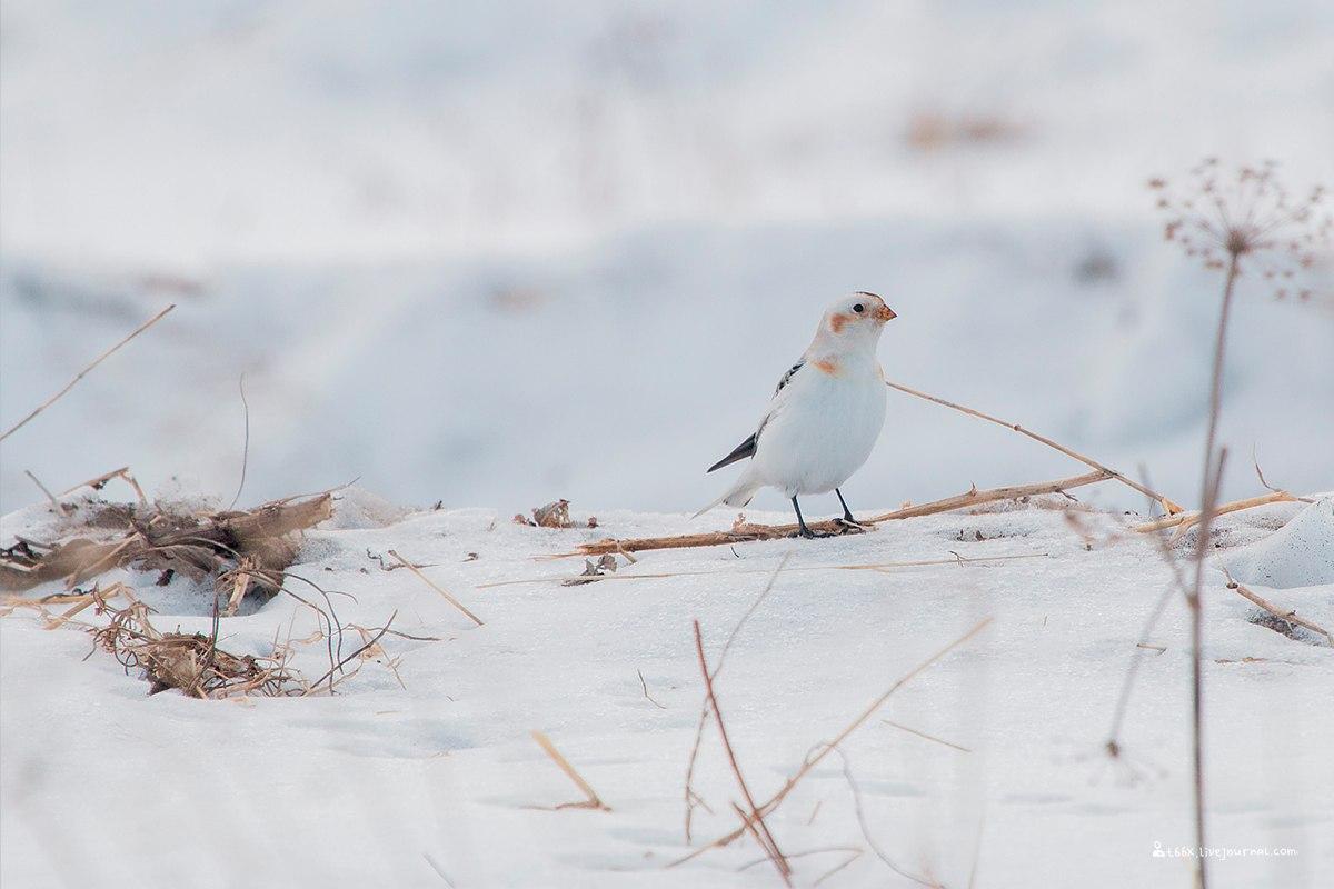 Птицы челябинской области, щур