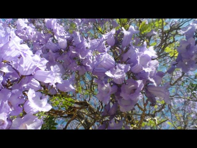 Жакаранда мимозолистная, самые красивые цветущие деревья мира, 1301-18052017