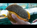 GIANT SEAFOOD - MONSTER SEA SNAIL Thailand Street Food