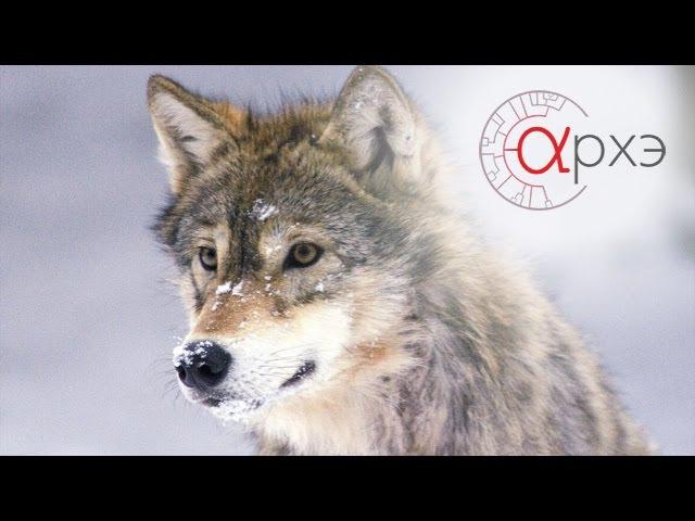 Ясон Бадридзе Формирование поведения волка
