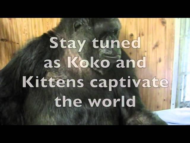 Знаменитой горилле Коко подарили коробку с котятами. Что было дальше? Я плачу от умиления!