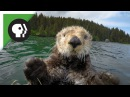 Robot 'Spy Otter' Makes New Friends