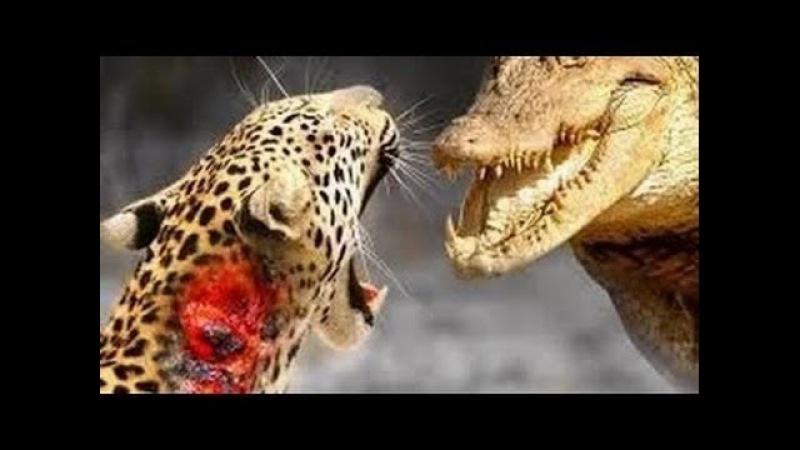 ЛЕОПАРД против КРОКОДИЛА _ CRAZIEST Animal Fights