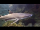 Суперхищник Черная рифовая акула