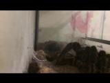 Lasiodora parahybana ест мадагаскарского тараканчика :)