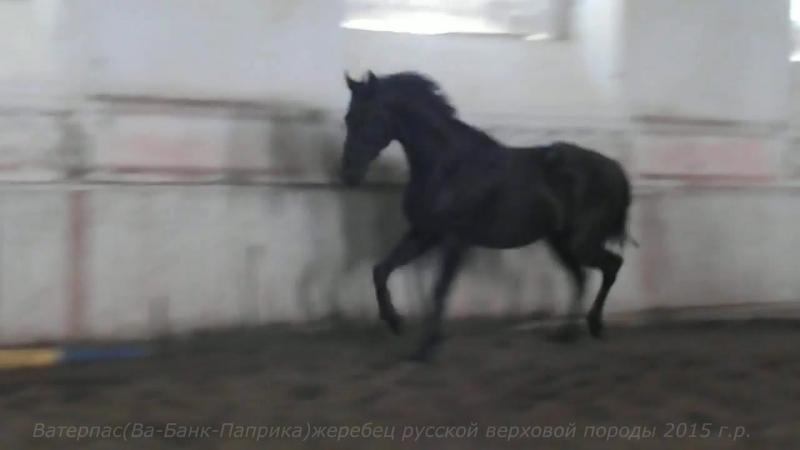 Ватерпас(Ва-Банк-Паприка)жеребец русской верховой породы 2015 г.р.