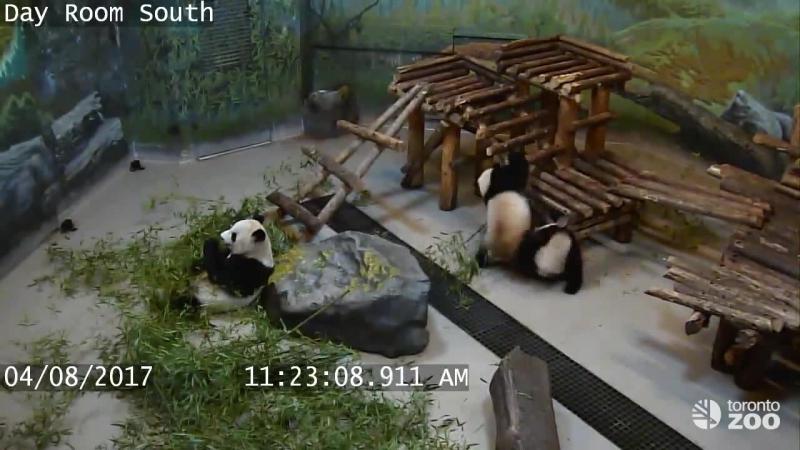 Как панды страдают от своей неуклюжести