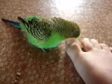 Мой очень смешной попугай Гоша