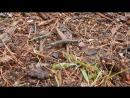 Ящерица без хвоста