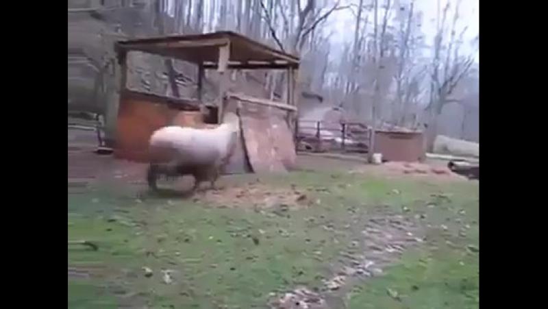 Овца думает что она собака.