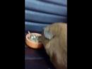 персик хавает